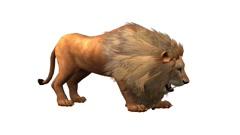 Lion attack bite eating,Endangered wild animal wildlife. Stock Footage