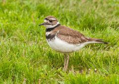 killdeer - stock photo