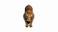 Tiger suu auki karjunta, luonnonvaraisista eläimistä elinympäristö. Arkistovideo