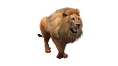 Lion walk,Endangered wild animal wildlife walking. Stock Footage