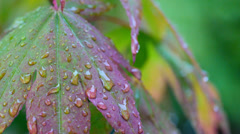 Rain falling on Japanese Maple, acer, leaves Stock Footage