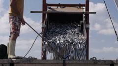 Unloading sardines Stock Footage