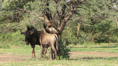 Blue wildebeest rubbing - stock footage