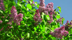 Lilac flowers. 4K. Stock Footage
