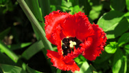 Stock Video Footage of Red Tulip. 4K.