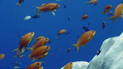 Close shot of schooling sea goldies, Red Sea reef Stock Footage
