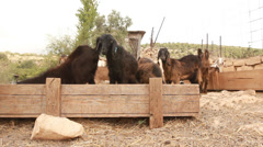 Animals graze Goats in the farm Stock Footage