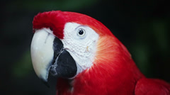 Scarlet Macaw - stock footage