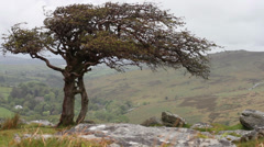 Dartmoor tree, Mid shot Stock Footage