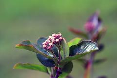Black chokeberry, aronia melanocarpa Stock Photos