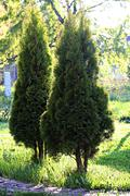 arbor vitae in garden - stock photo