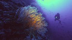 big coral branch at reef wall, scuba diver, Red Sea - stock footage
