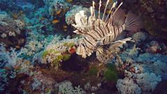 Lion fish at beautiful coral reef, high angle shot, Red Sea Stock Footage