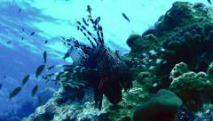 Lion fish at coral reef, red sea, blue surface in background Stock Footage