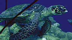 close shot of hawks bill turtle at coral reef, Red Sea - stock footage