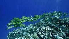 Total shot of huge shoal of tropical fish over coral reef, Red Sea Stock Footage