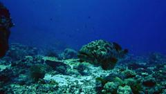 Potato grouper at coral reef, Red Sea Stock Footage