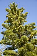 Araucaria heterophylla Stock Photos