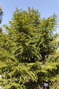 Araucaria bidwillii Stock Photos