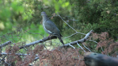Mourning Dove  (Zenaida macroura) on a Branch Stock Footage