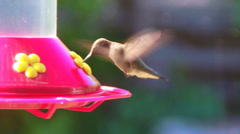 Ruby Throated Hummingbirds(Archilochus colubris) at Feeder Stock Footage
