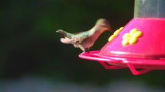 Ruby Throated Hummingbirds (Archilochus colubris) Feeder I Stock Footage