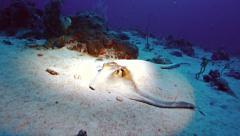 Stingray hiding on sea bottom, red sea Stock Footage