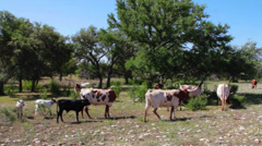 Longhorns Grazing in the Texas Hill Country Stock Footage
