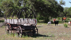 Longhorns and Conestoga Wagon in Texas Hill Country, Zoom - stock footage