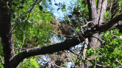 Mourning Dove (Zenaida macroura) on a Tree branch Stock Footage