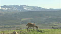 Goat grazing on a hill Stock Footage