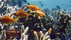 Close shot of sea goldies between hard corals, Red Sea Stock Footage