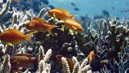 Stock Video Footage of Sea Goldies  Anthias red sea