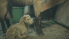 Baby goat and its mother Stock Footage
