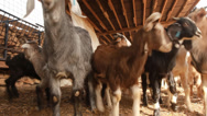 Stock Video Footage of Animals graze Goats in the farm