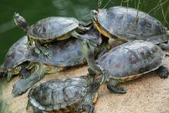 Group of red-eared slider turtles sitting on a stone in the zoo - stock photo