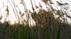 Sun shining through the tall grass Stock Footage