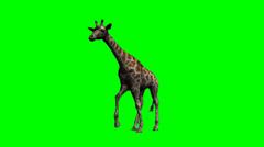 Giraffe walking - green screen Stock Footage