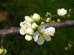 branches in the spring of detail of domestic plum - stock photo