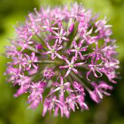 Flower, Allium aflatunense Stock Photos