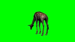 Giraffe grazing - green screen Stock Footage
