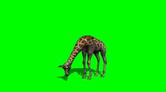 Giraffe grazing with shadow - green screen Stock Footage
