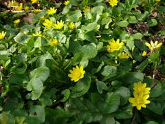 Marsh marigold herb yellow flower Stock Photos