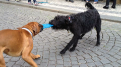 Cute video of two dogs playing tug of war with a freebie Stock Footage