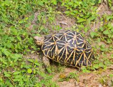 Star tortoise - Geochelone elegans Stock Photos