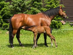Sucking foal and mare - stock photo