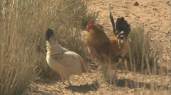 Rooster crows - stock footage