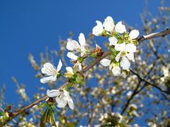 Stock Photo of branch cherry