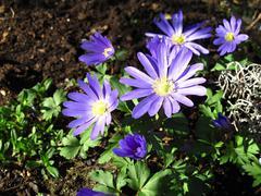 anemone blanda plants - stock photo