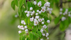 Pear white blossom trusses with pink stamens and new green leaves - stock footage